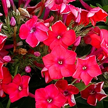 PHLOX CHERRY RED