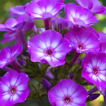 PHLOX PURPLE STAR