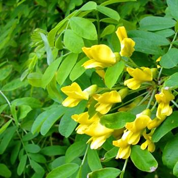 ČIMIŠNÍK STROMKOVITÝ (Caragana arborescens)