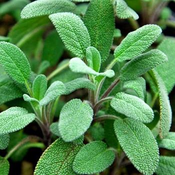 ŠALVĚJ - Salvia Growers kont. 1,3L