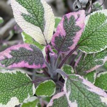 ŠALVĚJ TRICOLOR - Salvia officinalis tricolor