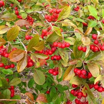 JEŘÁB ´BRILLIANT´ - červené plody