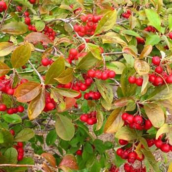 ARONIE - JEŘÁB ´BRILLIANT´ - červené plody kont 2L
