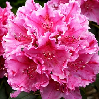 RHODODENDRON XXL ´CLAUDINE ´