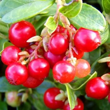 BRUSINKA ´ERNTETRAUM ´(Vaccinium vitis-idaea Erntetraum)