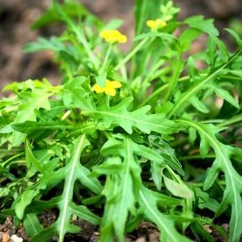 KŘEZ TENKOLISTÝ (Diplotaxis tenuifolia ´Grazia´)