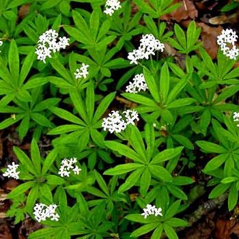 SVÍZEL VONNÝ (Galium odoratum)
