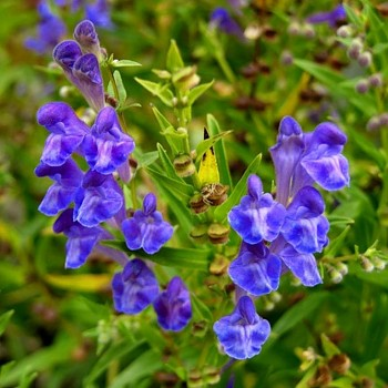 ŠIŠÁK BAJKALSKÝ (Scutellaria Baicalensis)