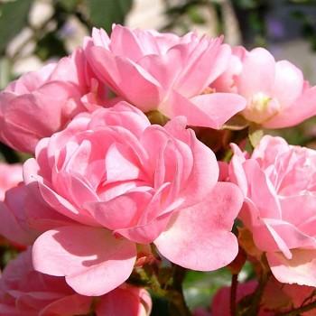 RŮŽE PŮDOPOKRYVNÁ růžová