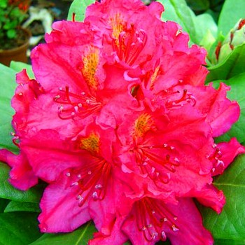 RHODODENDRON ´AMERICAN BEAUTY´