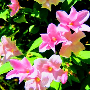JASMÍN RŮŽOKVĚTÝ ( Jasminum beesianum)