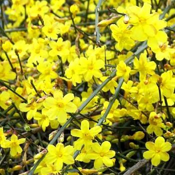 JASMÍN NAHOKVĚTÝ ( Jasminum nudiflorum)