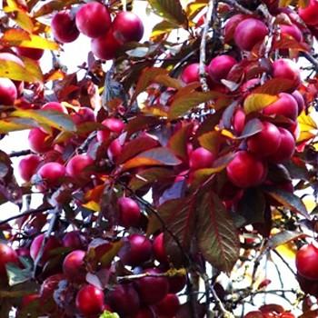 MYROBALÁN PLODOVÝ ´KLARINET´ (Prunus cerasifera Klaret )
