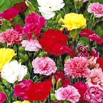 HVOZDÍK  ( Karafiát) - růžový - právě kvete