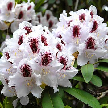RHODODENDRON  ´CALSAP´