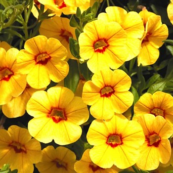CALIBRACHOA ´GOLD WITH RED EYES´