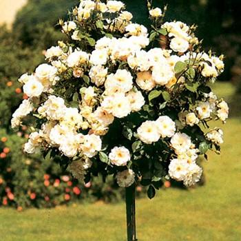 RŮŽE STROMKOVÁ BÍLO-NARŮŽOVĚLÁ na kmínku 40cm právě kvete