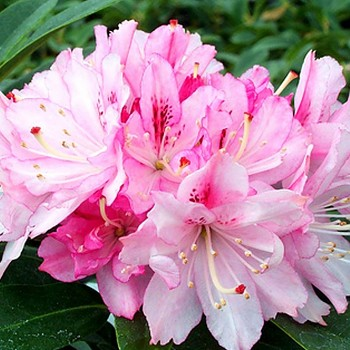RHODODENDRON ´CHEER´