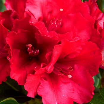 RHODODENDRON XXL ´RED JACK´
