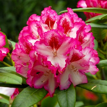 RHODODENDRON ´HACHMANN´S CHARMANT ´