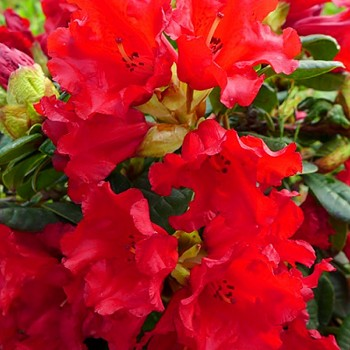 RHODODENDRON ´BENGAL´
