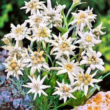 PROTĚŽ ALPSKÁ ( Leontopodium alpinum ´ Everest ´)