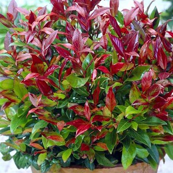 LEUCOTHOE ´ROYAL RUBY´(Leucothoe keiskei Royal Ruby)