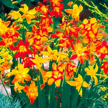 MONTBRÉCIE MIX ( CROCOSMIA )