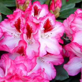 RHODODENDRON XXL ´HACHMANN´S CHARMANT ´
