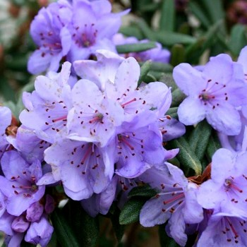 RHODODENDRON ´BLUE SILVER´