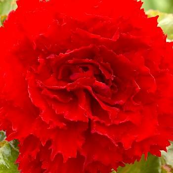 BEGÓNIE RED