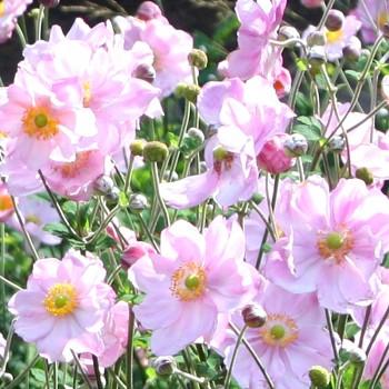 SASANKA JAPONSKÁ ´KONIGIN CHARLOTTE´ růžová