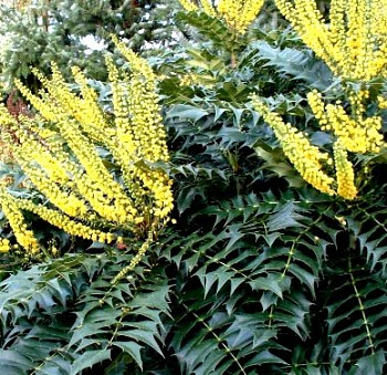 MAHON - Mahonia MEDIA WINTER SUN ko. 2,5l