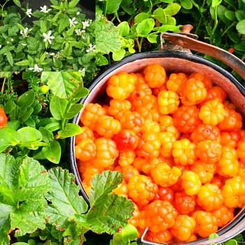 OSTRUŽINÍK ŽLUTÝ - ČÍNSKÝ (Rubus xanthocarpus) kont. 2litry