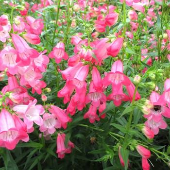 DRAČÍK PINK (Penstemon Phoenix Pink)
