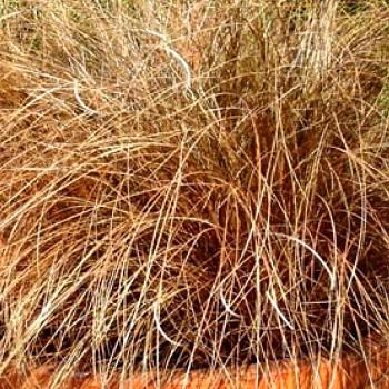 (OSTŘICE CHOCHOLATÁ ´BRONCO (Carex comans ´Bronco´)