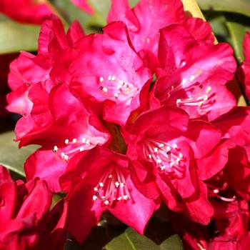 RHODODENDRON XXL ´BOHLKEN´S ROTER STERN´