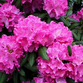 RHODODENDRON ´ROSEUM PINK´