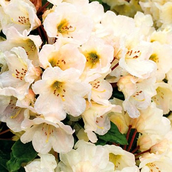 RHODODENDRON ´GOLDEN MELODY´