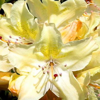 RHODODENDRON ´GEORGE SAND´