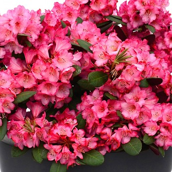 RHODODENDRON ´WINE & ROSES´® XXL