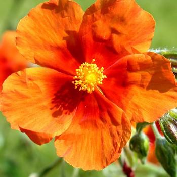 DEVATERNÍK ´BEN HECKLA´ - zářivě oranžový