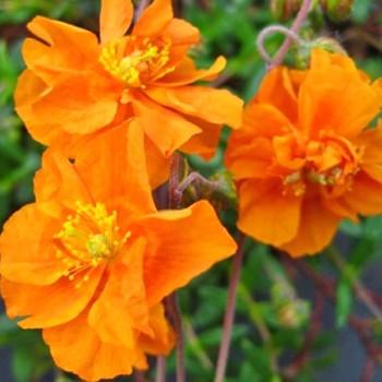 DEVATERNÍK ´ORANGE DOUBLE´ - oranžový
