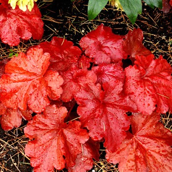 HEUCHERA ´FIRE ALARM´