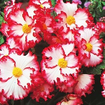 BEGÓNIE Marginata White-red