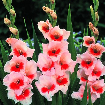 GLADIOLA 19 - ´SHOCKING´ kont. P9