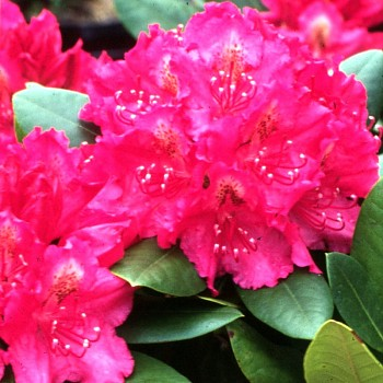 RHODODENDRON´PERCY´S AMERICAN BEAUTY´