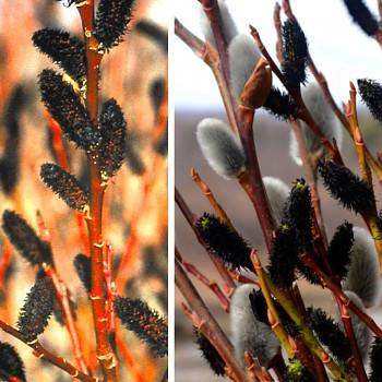 VRBA ČERNOKVĚTÁ ( Salix melanostachys) - na kmínku 80 cm