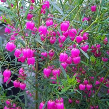 BORONIE - Boronia heterophylla ´RUBRA´ kont. 2L