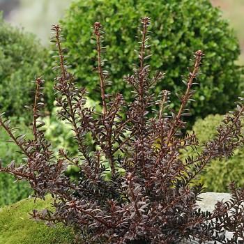 Podocarpus alp. 'Chocklat Box' - kont. 2,5L